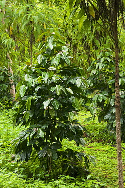 Coffee Bush (Coffea sp) grown under shade of endemic Scalesia (Scalesia pedunculata) trees, Santa Cruz Island, Galapagos Islands, Ecuador  -  Pete Oxford