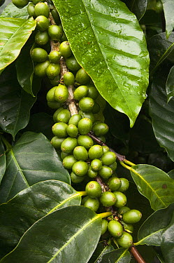Coffee Bush (Coffea sp) with berries grown under shade of endemic Scalesia (Scalesia pedunculata) trees, Santa Cruz Island, Galapagos Islands, Ecuador  -  Pete Oxford