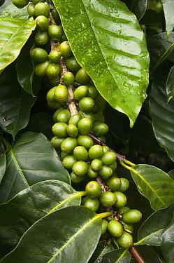 Coffee Bush (Coffea sp) with berries grown under shade of endemic Scalesia (Scalesia pedunculata) trees, Santa Cruz Island, Galapagos Islands, Ecuador  -  Pete Oxford