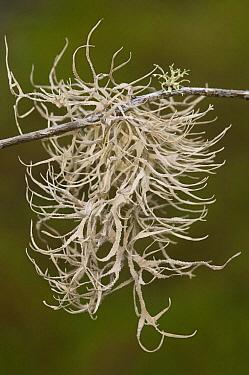 Dyer's Moss (Roccella sp) is used to make a purple dye, Puerto Ayora, Santa Cruz Island, Galapagos Islands, Ecuador  -  Pete Oxford
