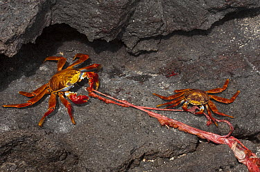 Sally Lightfoot Crab (Grapsus grapsus) eating Galapagos Fur Seal (Arctocephalus galapagoensis) placenta, Fernandina Island, Galapagos Islands, Ecuador  -  Pete Oxford