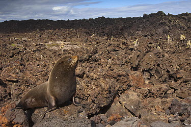 Galapagos Fur Seal (Arctocephalus galapagoensis) male on cool lava, Cape Hammond, Fernandina Island, Galapagos Islands, Ecuador  -  Pete Oxford