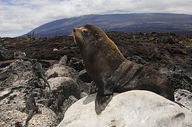 Galapagos Fur Seal (Arctocephalus galapagoensis) male, Cape Douglas, Fernandina Island, Galapagos Islands, Ecuador  -  Pete Oxford