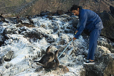 Flightless Cormorant (Phalacrocorax harrisi) researcher reading data tags which have previously been inserted into the birds, Isabella Island, Galapagos Islands, Ecuador  -  Pete Oxford