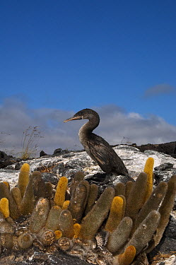Flightless Cormorant (Phalacrocorax harrisi) and Lava Cactus (Brachycereus nesioticus), Fernandina Island, Galapagos Islands, Ecuador  -  Pete Oxford
