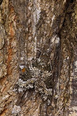 Rustic Sphinx Moth (Manduca rustica) camouflaged on tree trunk Puerto Ayora, Santa Cruz Island, Galapagos Islands, Ecuador  -  Pete Oxford