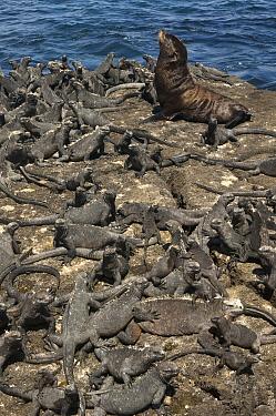 Galapagos Fur Seal (Arctocephalus galapagoensis) and Marine Iguanas (Amblyrhynchus cristatus) basking, Cape Douglas, Fernandina Island, Galapagos Islands, Ecuador  -  Pete Oxford