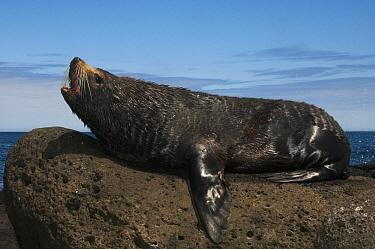 Galapagos Fur Seal (Arctocephalus galapagoensis) male calling, Cape Douglas, Fernandina Island, Galapagos Islands, Ecuador  -  Pete Oxford