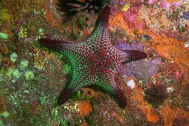 Cortez Starfish (Pentaceraster cumingi), Kicker Rock, Galapagos Islands, Ecuador  -  Pete Oxford