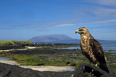 Galapagos Hawk (Buteo galapagoensis), Wolf Volcano, Isabella Island, Galapagos Islands, Ecuador  -  Pete Oxford