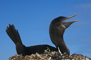 Flightless Cormorant (Phalacrocorax harrisi) calling on nest, off Wolf Volcano, Isabella Island, Galapagos Islands, Ecuador  -  Pete Oxford