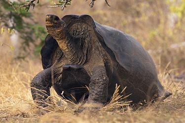 Saddleback Galapagos Tortoise (Chelonoidis hoodensis) male, Wolf Volcano, Isabella Island, Galapagos Islands, Ecuador  -  Pete Oxford