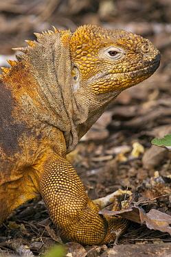 Galapagos Land Iguana (Conolophus subcristatus), base of Wolf Volcano, Isabella Island, Galapagos Islands, Ecuador  -  Pete Oxford