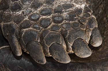 Saddleback Galapagos Tortoise (Chelonoidis hoodensis) foot, Wolf Volcano, Isabella Island, Galapagos Islands, Ecuador  -  Pete Oxford