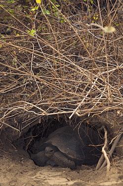 Volcan Alcedo Giant Tortoise (Chelonoidis vandenburghi) baby in burrow, Wolf Volcano, Isabella Island, Galapagos Islands, Ecuador  -  Pete Oxford