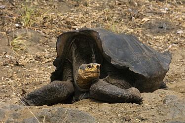 Saddleback Galapagos Tortoise (Chelonoidis hoodensis), Wolf Volcano, Isabella Island, Galapagos Islands, Ecuador  -  Pete Oxford