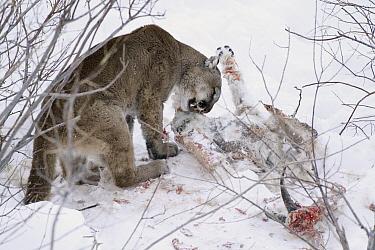 Mountain Lion (Puma concolor) wild female feeding on Mountain Goat (Oreamnos americanus) carcass, Glacier National Park, Montana  -  Sumio Harada