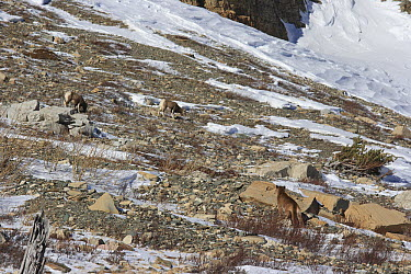 Mountain Lion (Puma concolor) wild female stalking Bighorn Sheep (Ovis canadensis), Glacier National Park, Montana  -  Sumio Harada