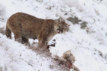 Mountain Lion (Puma concolor) wild female feeding on Bighorn Sheep (Ovis canadensis) carcass, Glacier National Park, Montana  -  Sumio Harada