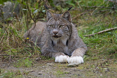 Canada Lynx (Lynx canadensis) showing white feet often found in the Alaska and Yukon population, Haines, Alaska  -  Matthias Breiter