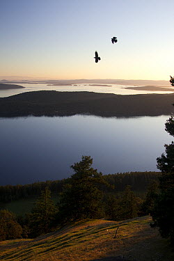 Common Raven (Corvus corax) pair flying along the slopes of Mount Warburton Pike overlooking Boundary Pass, Saturna Island, British Columbia, Canada  -  Matthias Breiter