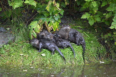 North American River Otter (Lontra canadensis) family, Sitka, Alaska  -  Matthias Breiter