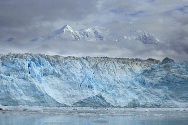 Harbor Seal (Phoca vitulina) group hauled out on ice floes below the terminus of Hubbard Glacier, Alaska  -  Matthias Breiter