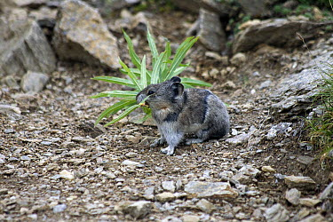 Collared Pika (Ochotona collaris) with fireweed stalk, Alaska  -  Matthias Breiter