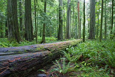 Cathedral Grove in old growth forest, MacMillan Provincial Park, near Port Alberni, Vancouver Island, Canada  -  Matthias Breiter