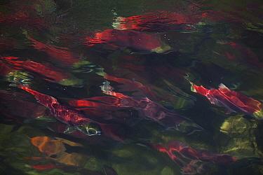 Sockeye Salmon (Oncorhynchus nerka) in breeding color during spawning season, Adams River, British Columbia, Canada  -  Matthias Breiter
