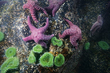 Giant Green Sea Anemone (Anthopleura xanthogrammica) group and Ochre Sea Stars (Pisaster ochraceus) on rock wall on St. Lazaria Island, Alaska  -  Matthias Breiter