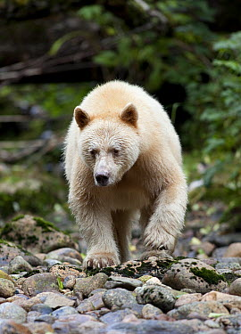 Kermode Bear (Ursus americanus kermodei), white morph called spirit bear, northern British Columbia, Canada  -  Matthias Breiter