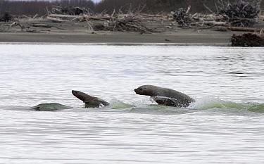 Steller's Sea Lion (Eumetopias jubatus) chasing Eulachon (Thaleichthys pacificus) fish up the Stikine River, Alaska  -  Matthias Breiter