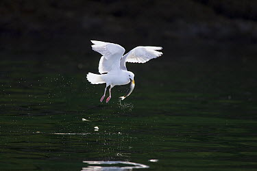 Glaucous-winged Gull (Larus glaucescens) catching herring, Craig, Alaska  -  Matthias Breiter