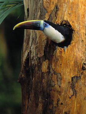 Red-billed Toucan (Ramphastos tucanus) at nest cavity  -  Stephen Dalton