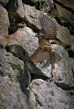 Eurasian Tree Sparrow (Passer montanus) flying to nest with food  -  Stephen Dalton