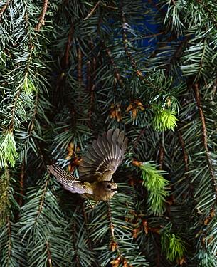 Goldcrest (Regulus regulus) flying  -  Stephen Dalton