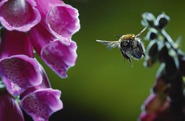 Bumblebee (Bombus sp) approaching foxglove  -  Stephen Dalton