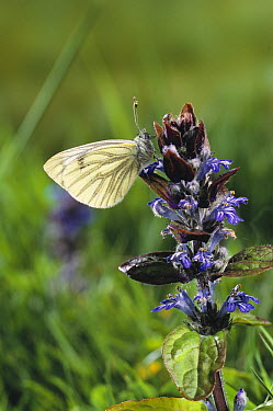 Green-veined White (Pieris napi) butterfly  -  Stephen Dalton