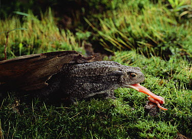 European Toad (Bufo bufo) preying on earthworm  -  Stephen Dalton