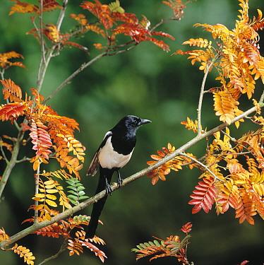 Black-billed Magpie (Pica pica) in tree in autumn  -  Stephen Dalton