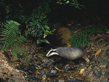 Eurasian Badger (Meles meles) crossing shallow stream  -  Stephen Dalton