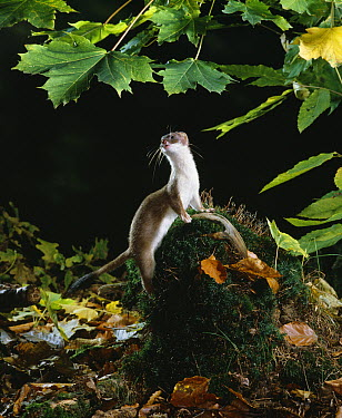 Short-tailed Weasel (Mustela erminea)  -  Stephen Dalton