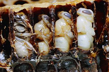 Honey Bee (Apis mellifera) in four stages of pupa development  -  Stephen Dalton