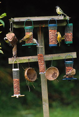 European Greenfinch (Chloris chloris), Blue Tits (Cyanistes caeruleus), and Great Tits (Parus major) on feeder, Sussex, England  -  Stephen Dalton