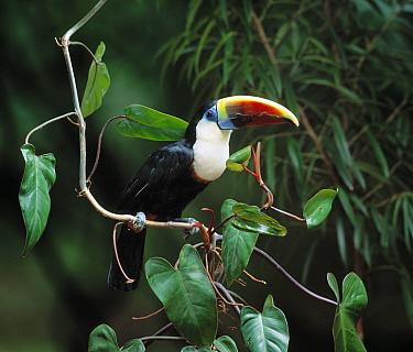 Red-billed Toucan (Ramphastos tucanus)  -  Stephen Dalton