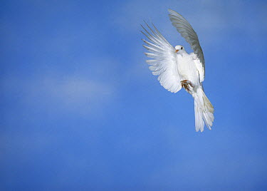 Barbary Dove (Streptopelia risoria) flying  -  Stephen Dalton