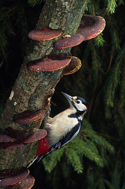 Great Spotted Woodpecker (Dendrocopos major) male  -  Stephen Dalton