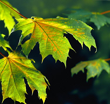 Sycamore (Acer pseudoplatanus) leaves  -  Stephen Dalton