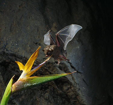Geoffroy's Tailless Bat (Anoura geoffroyi) sipping nectar from Bird-of-paradise (Strelitzia sp)flower  -  Stephen Dalton